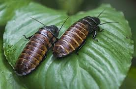 Cockroaches, Where are you going, Where have you been?