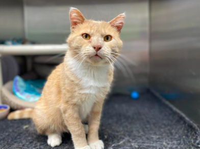 Cat pictured is Moochi, a 9 year old domestic short hair available for adoption.